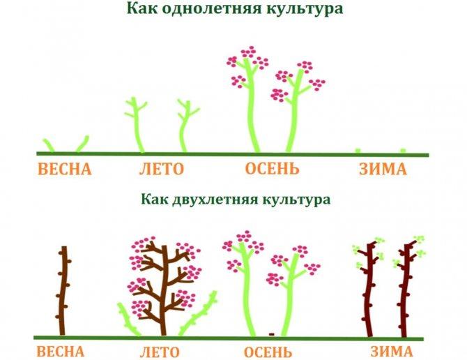 Уход за ремонтантной малиной, в том числе весной, а также особенности проведения в сибири, украине, на урале и в других регионах