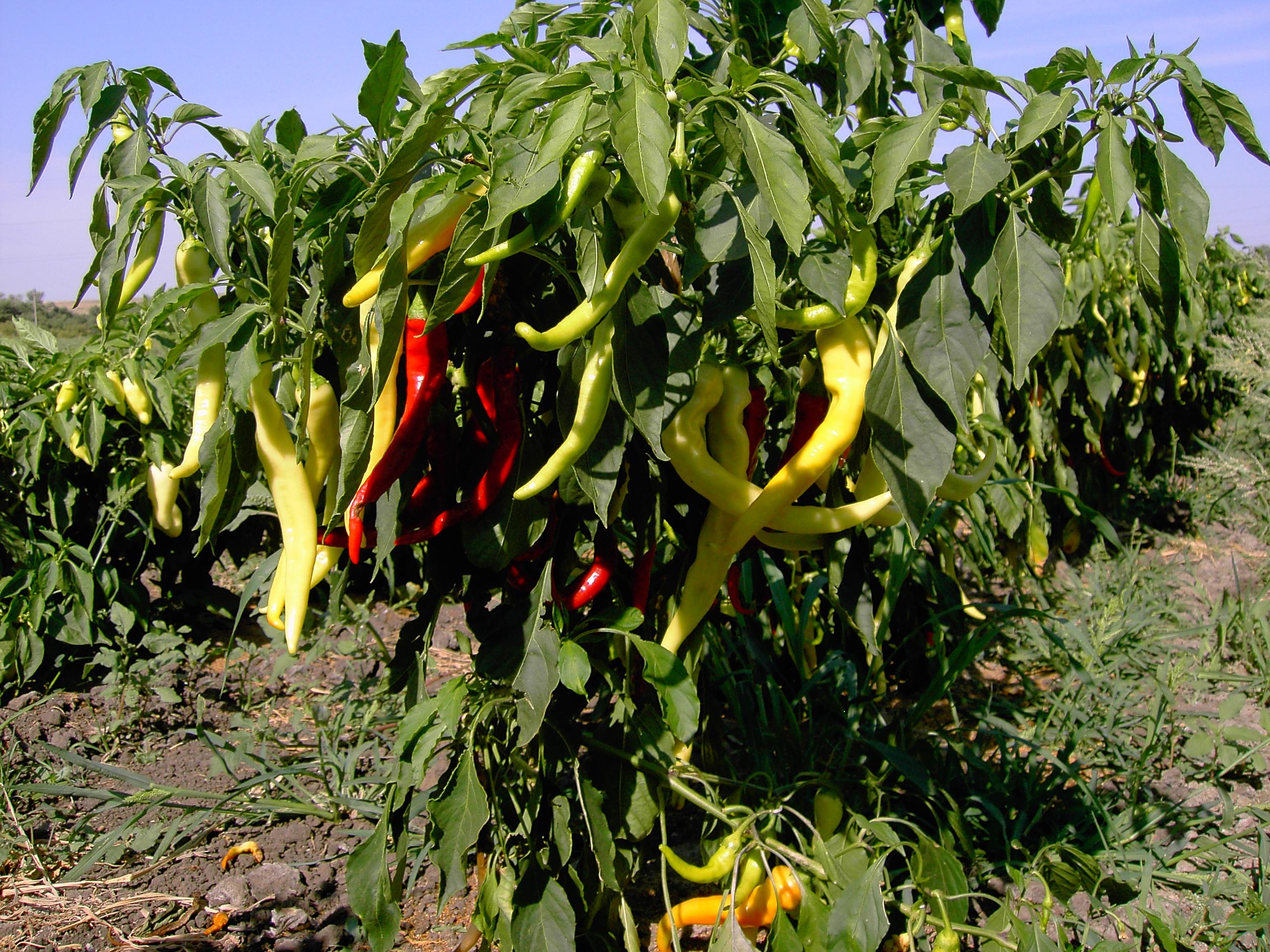 Горький перец: выращивание и уход в открытом грунте