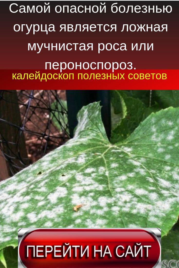 Мучнистая роса: меры борьбы на огурцах, смородине, средства и препараты