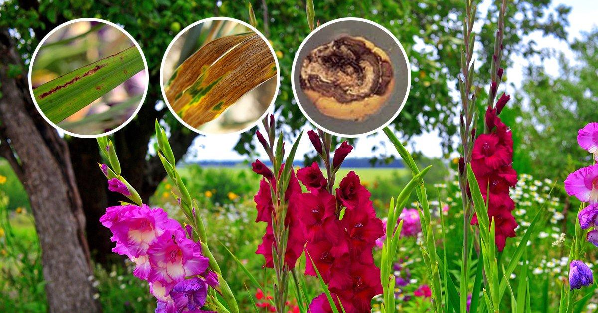 Как ухаживать за гладиолусами после цветения, обрезка и подкормка, хранение луковиц
