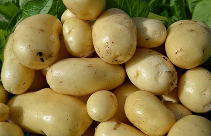 Картофель импала: основные характеристики и описание сорта