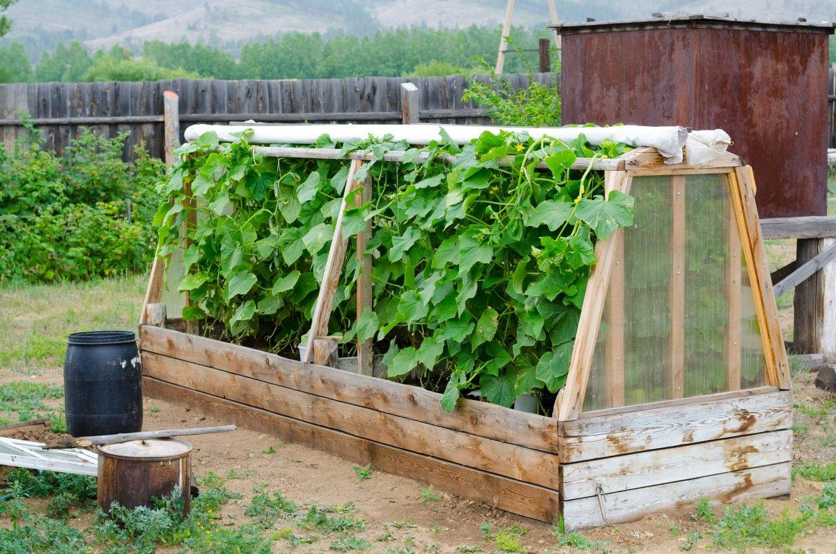 Правила и секреты выращивания помидоров в парнике