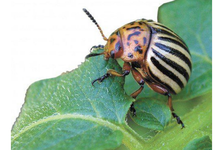 Как навсегда избавиться от колорадского жука, его внешний вид и средства борьбы