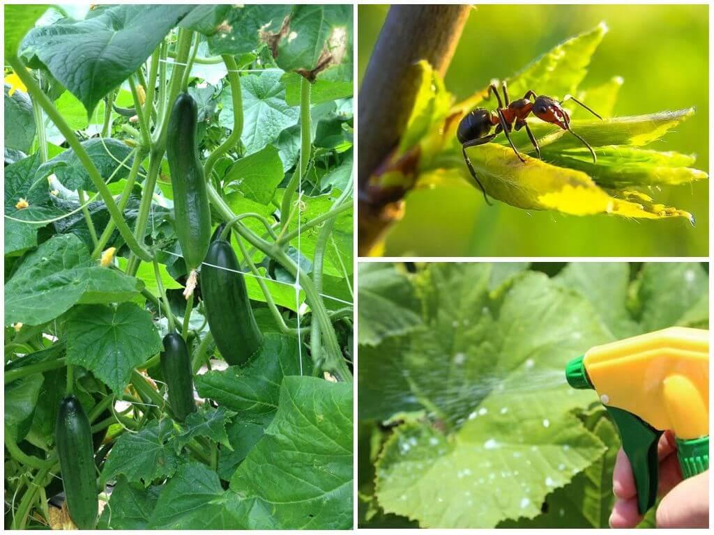 Система защиты огурца от вредителей и болезней в зао «прогресс» тимашевского района