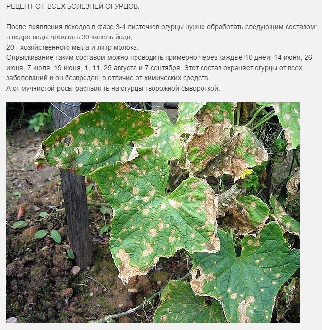 Болезни огурцов: название, описание с фото и лечение
