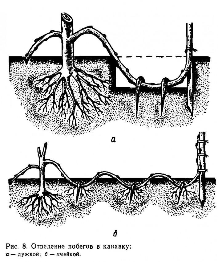Черешня из косточки: как выращивать в домашних условиях и правила посадки