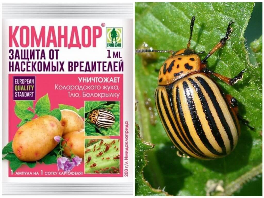 Колорадский жук - борьба с ним народными и химическими средствами