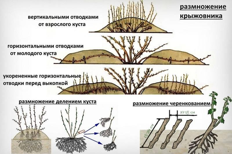 Крыжовник без шипов (бесшипный): сорта для средней полосы россии, самые сладкие, крупноплодные, посадка и уход