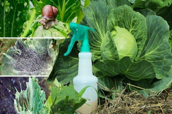 Нашатырный спирт в огороде – как применять от вредителей | спутниковые технологии