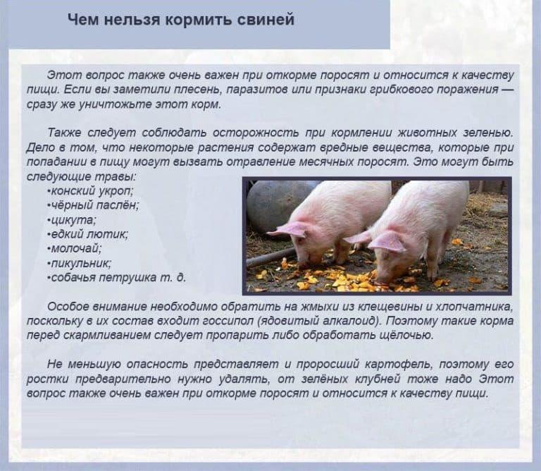 Разведение свиней для начинающих: выбор породы, правила составления рациона, вакцинация животных