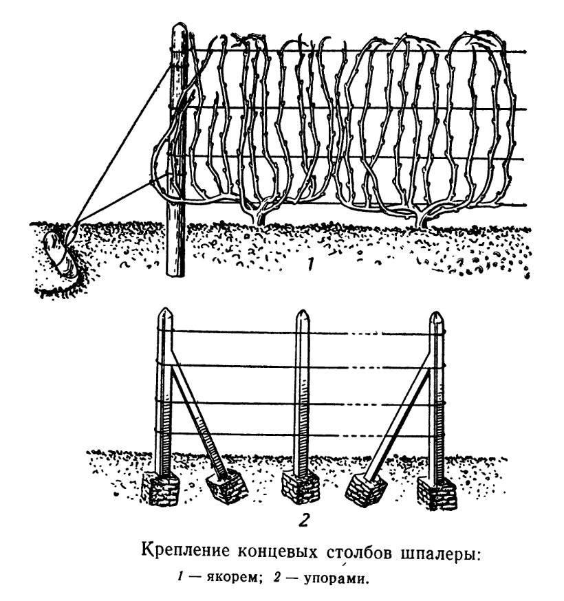 Подвязка винограда к шпалере: правила и схема, видео и фото