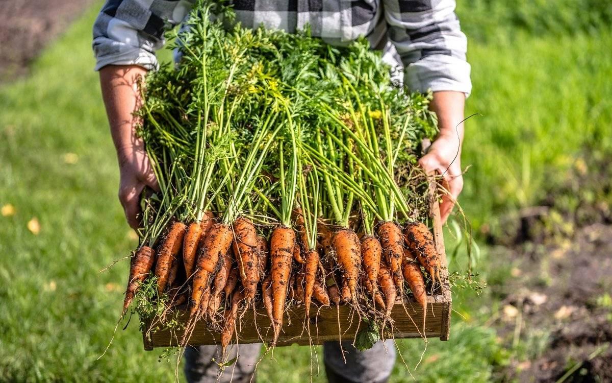 Морковь: описание, посадка, уход, подкормка | (фото) +отзывы