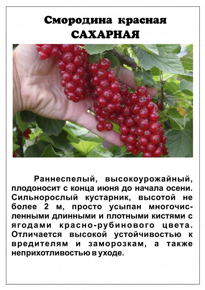 Смородина ровада: описание сорта красной смородины, выращивание - посадка и уход