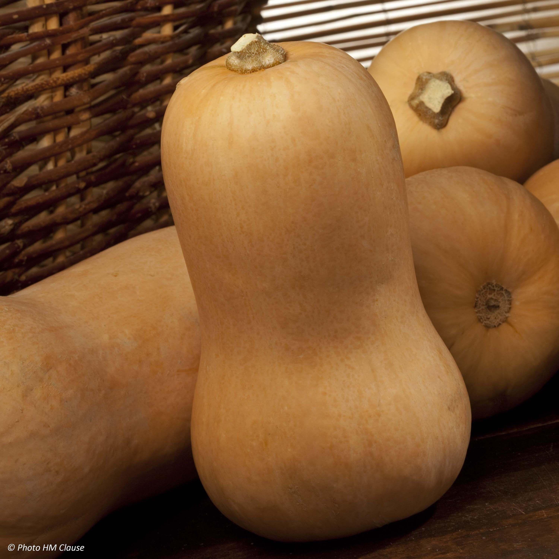 Тыква баттернат: фото кустов и готового урожая, характеристика и описание сорта, его применение в кулинарии и отзывы огородников