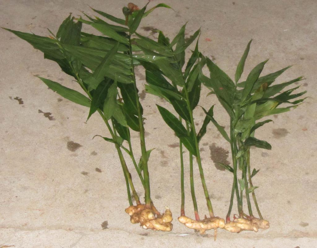 Как вырастить имбирь дома на подоконнике: посадка, выращивание, уход