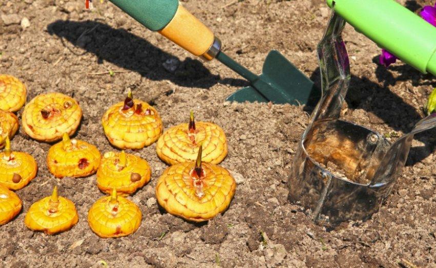 Когда надо сажать гладиолусы на выгонку. когда нужно доставать гладиолусы для проращивания. устанавливаем сроки