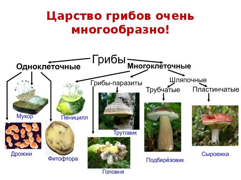 Цезарский гриб — описание, где растет, ядовитость гриба