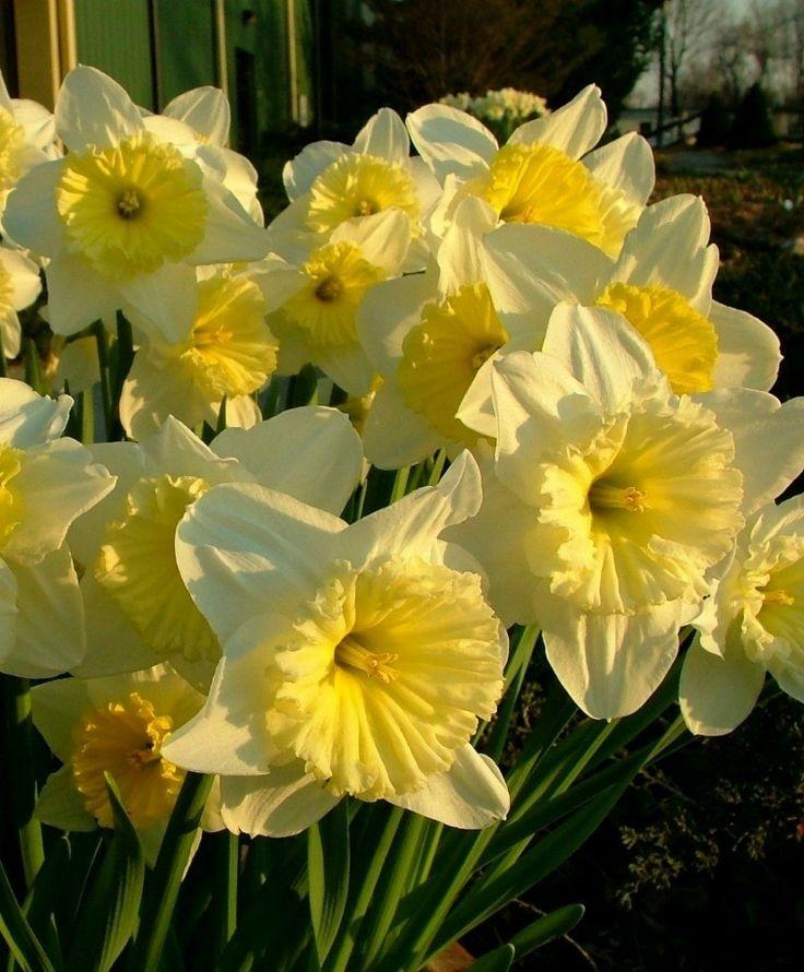 Нарцисс сэр уинстон черчилль: описание и характеристики сорта, посадка и уход