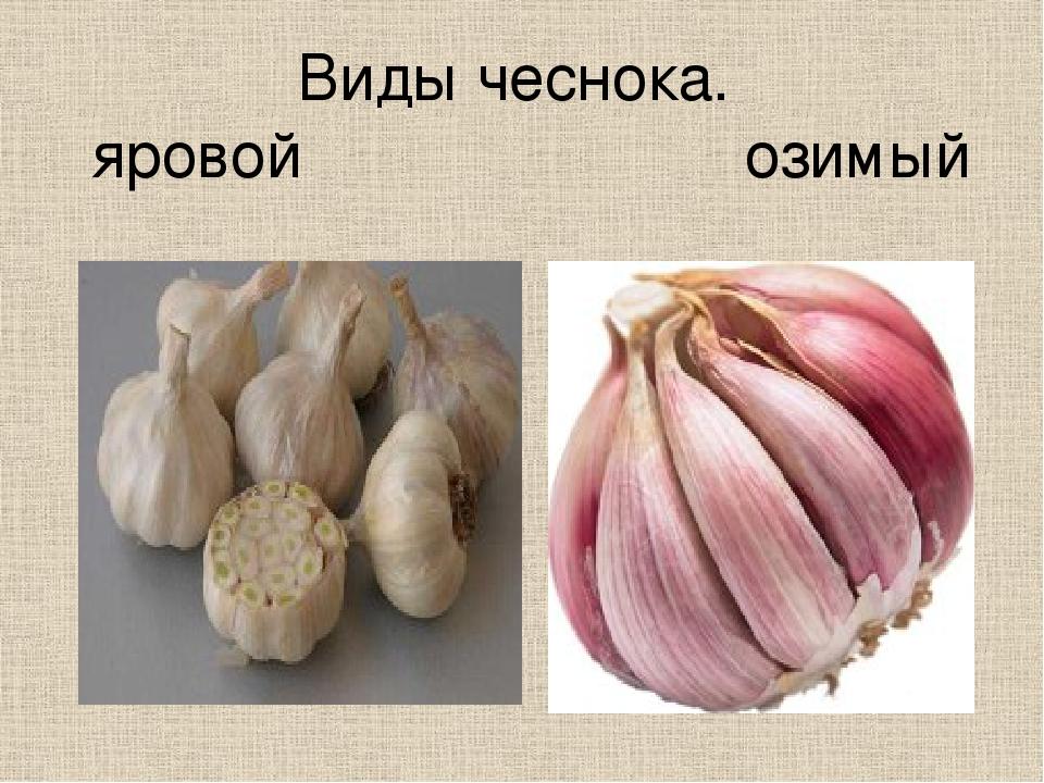 В чем отличия ярового чеснока от озимого, описание культур, какой лучше храниться