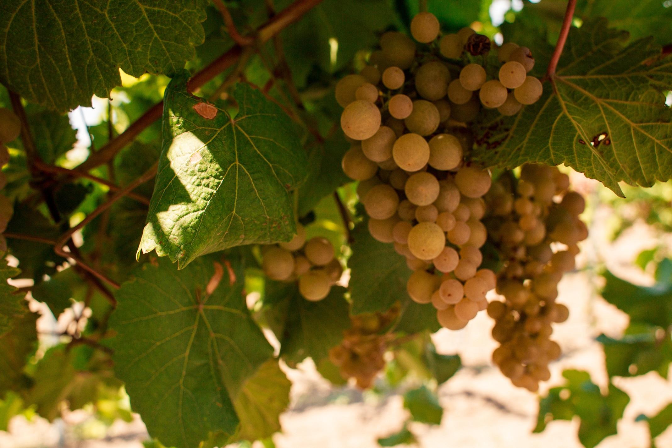✅ описание сорта винограда платовский, общие характеристики и особенности ухода - tehnomir32.ru