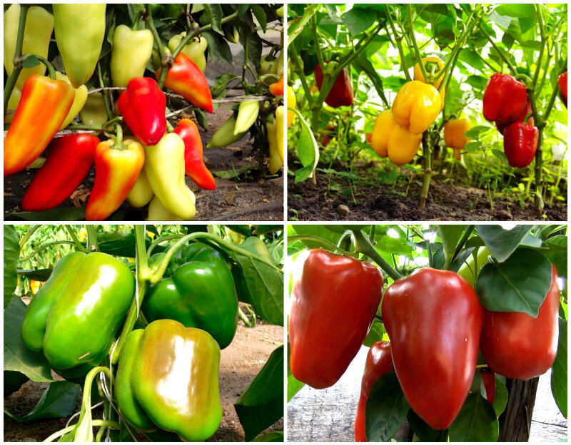 Фиолетовый перец: характеристики и описания сортов, урожайность и выращивание с фото