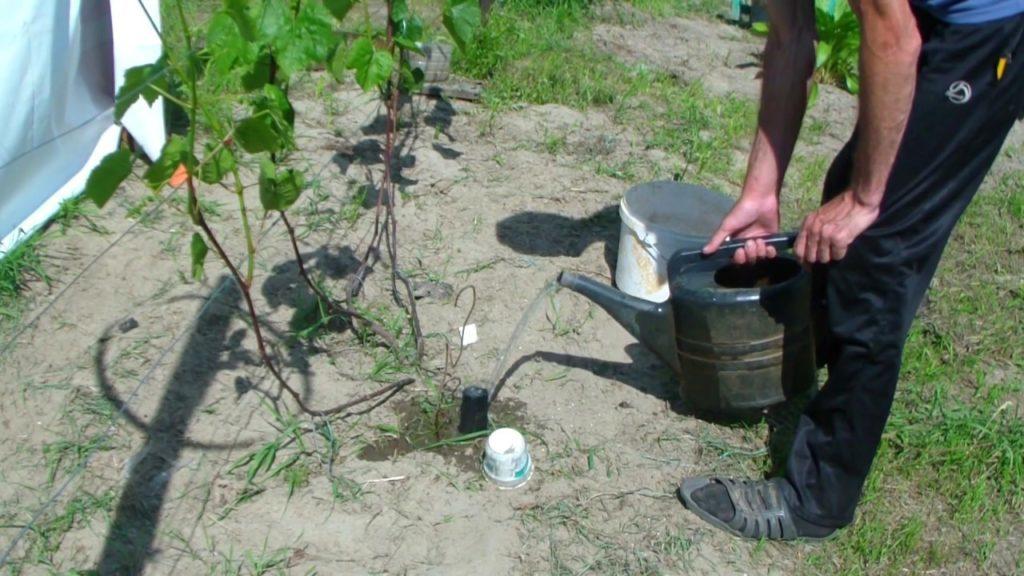 Подкормка винограда: чем и когда удобрять виноград