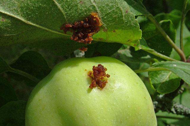 Как уничтожить плодожорку на яблоне: описание вредителя, методы и меры борьбы