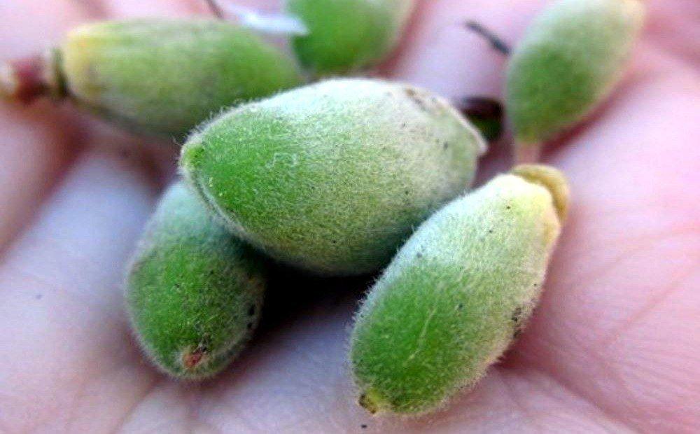 Болезни абрикосовых деревьев и их лечение, методы борьбы, что делать если не цветет абрикос, защита от вредителей + фото