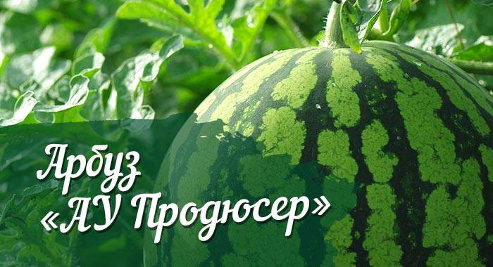 Семена арбуза продюсер: описание сорта, отзывы дачников, особенности выращивания