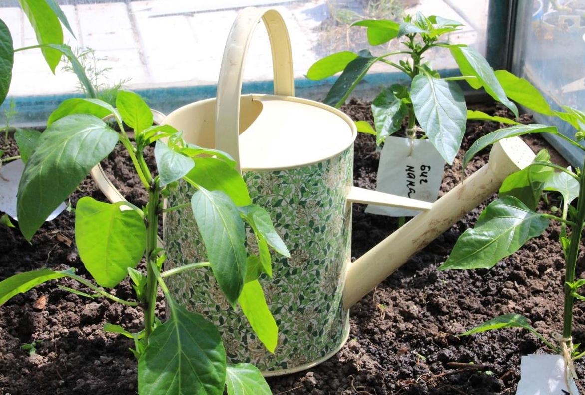 Зола: для повышения урожайности перцев в открытом и закрытом грунте