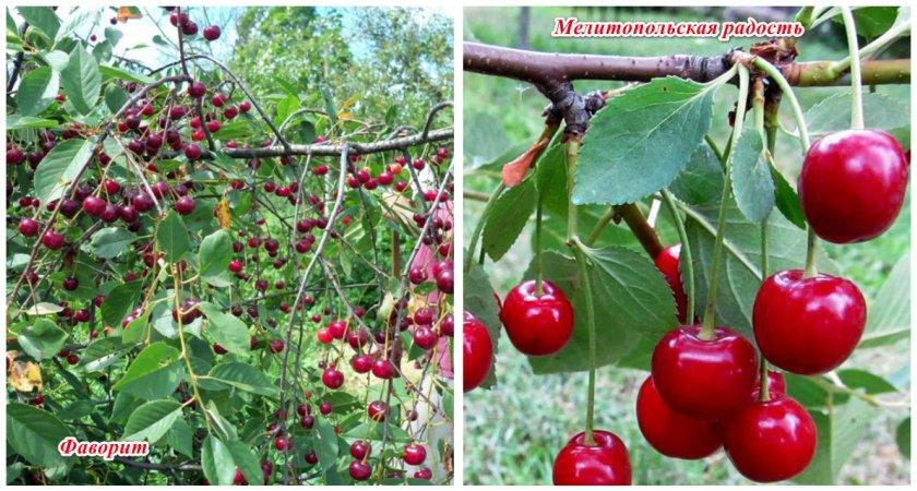 Характеристика сорта вишни тургеневка, описание посадки и ухода и опылителей - всё про сады