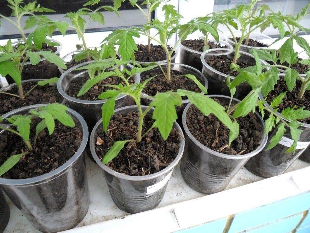 Когда сажать помидоры на рассаду в 2021 году в сибири