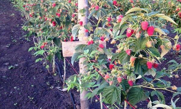 Сорт малина феномен —феноменально вкусные ягоды в вашем саду