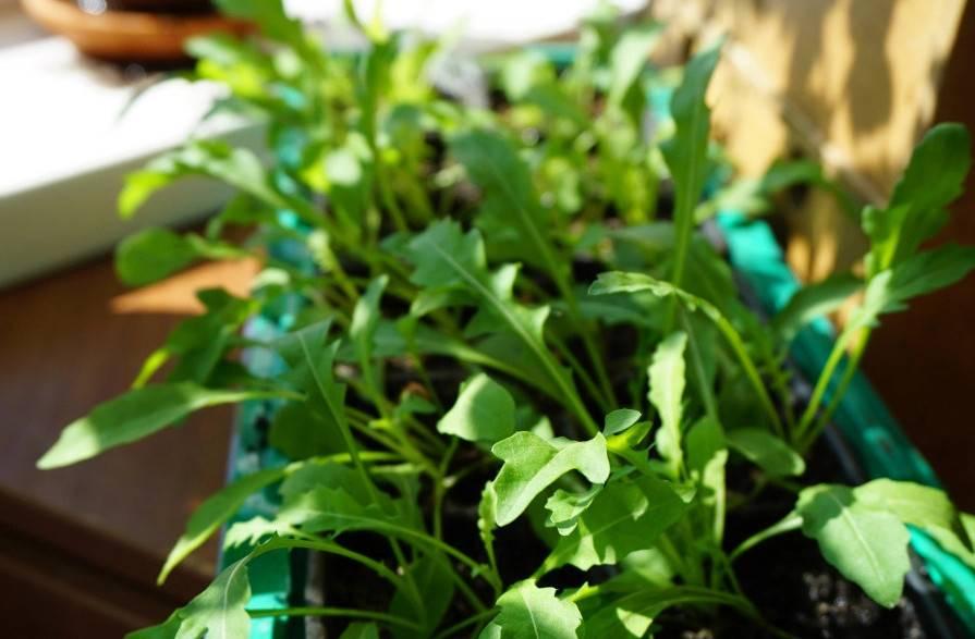 Выращивание рукколы на подоконнике - моё село