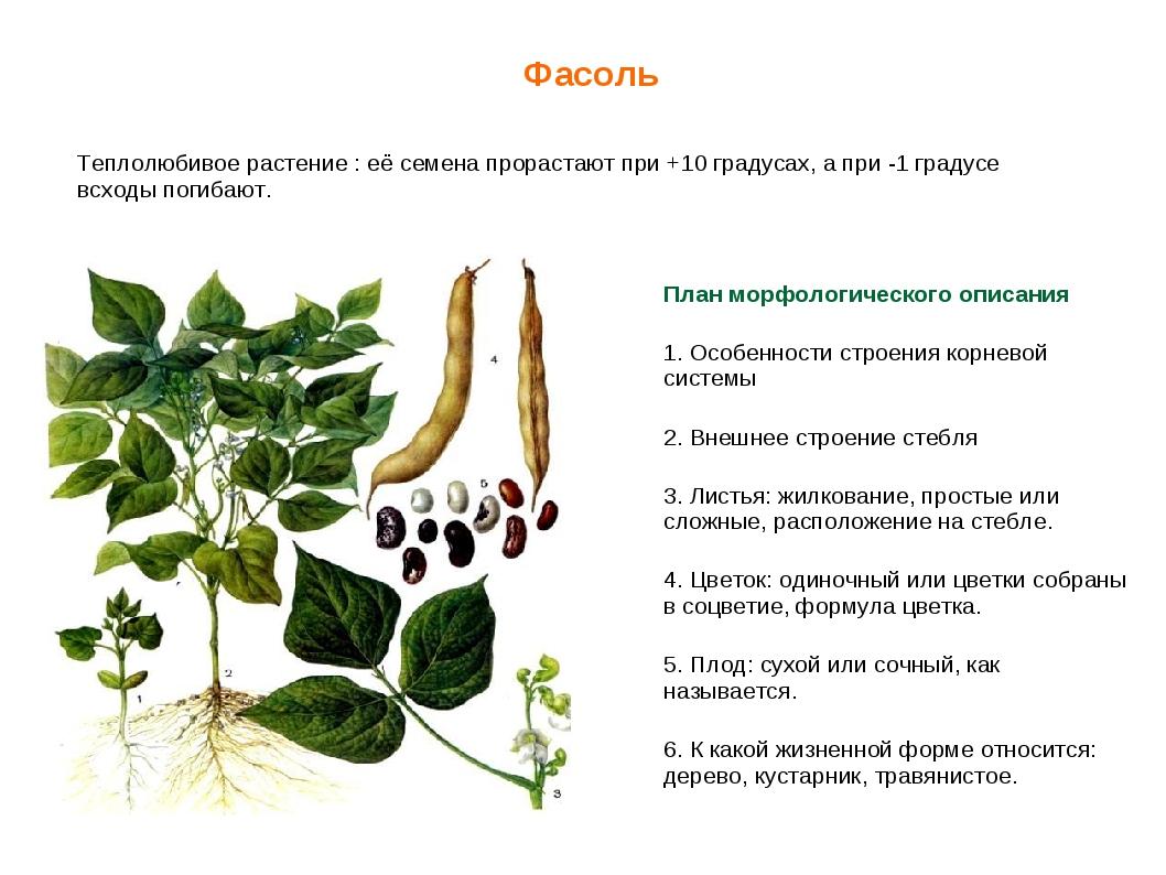 Фасоль обыкновенная: что это такое, овощ или нет, отличается ли от бобов и в чем разница, однолетнее ли растение и ботаническое описание, строение, польза и вред