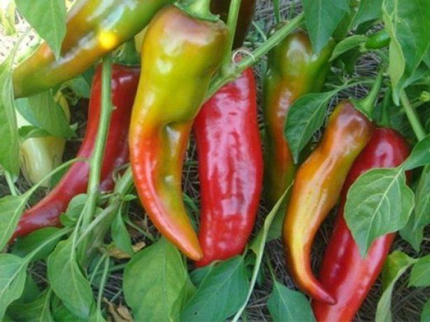 Перец какаду: описание, выращивание, уход, фото
