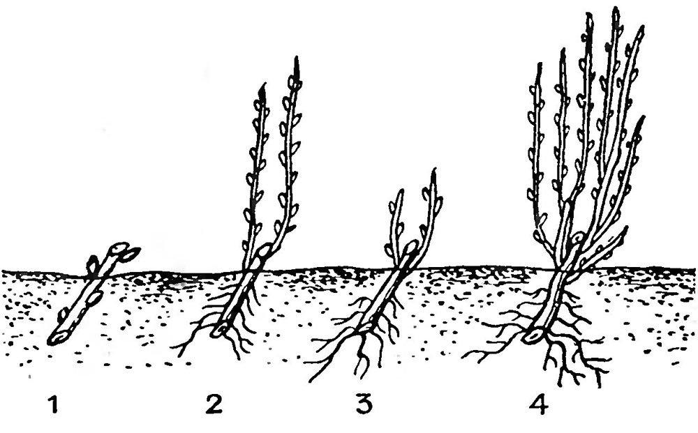 Облепиха как сажать и выращивать из одной ветки без корней
