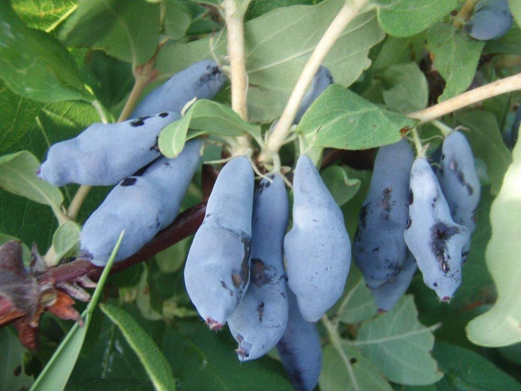 Особенности камчатской жимолости - описание, характеристики, лучшие сорта, урожайность и особенности выращивания