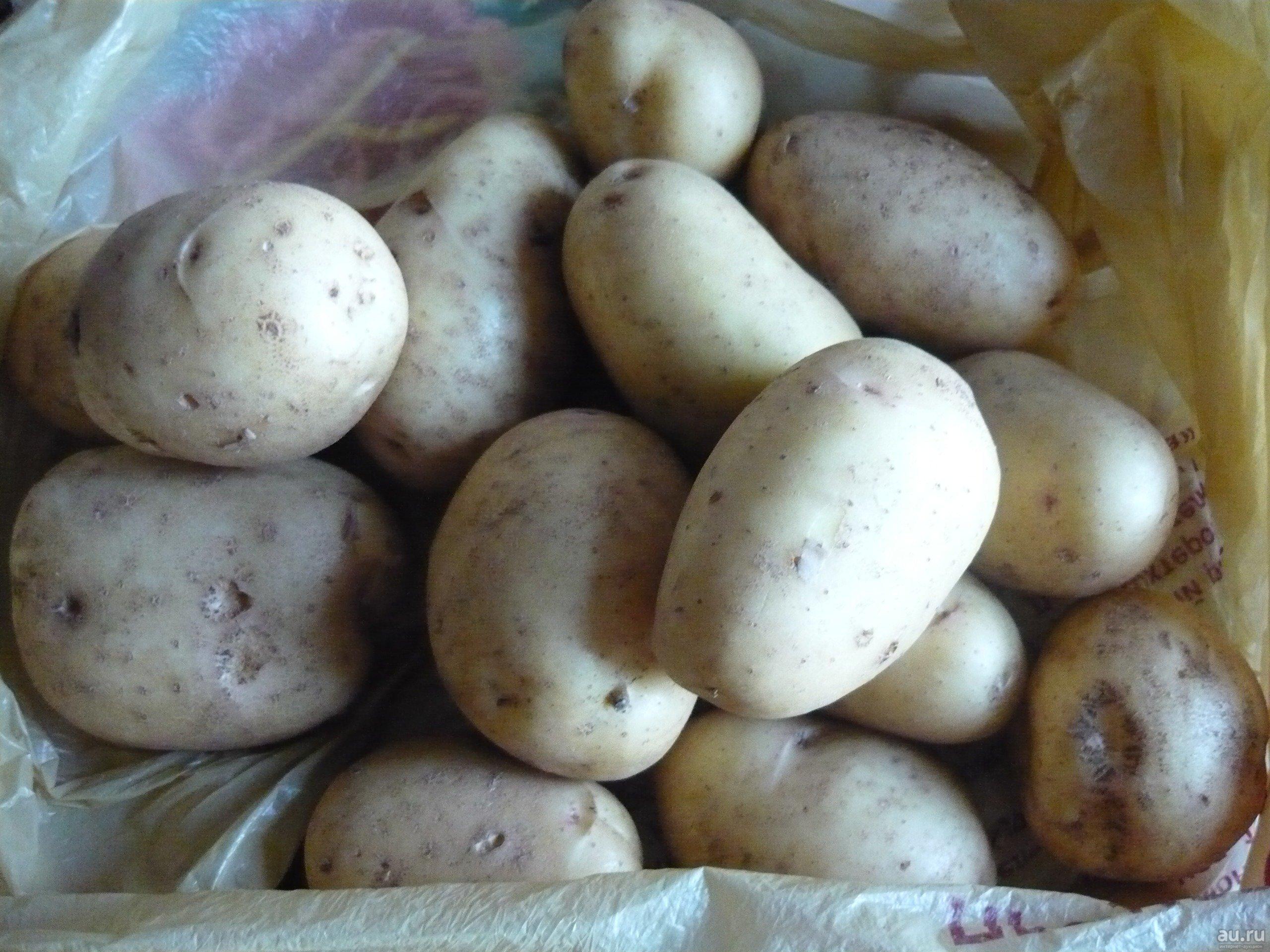 Сорт картофеля снегирь: описание и характеристика, отзывы