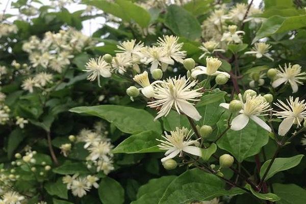Княжик (42 фото): описание сортов подрода клематиса. посадка и уход за цветком в открытом грунте