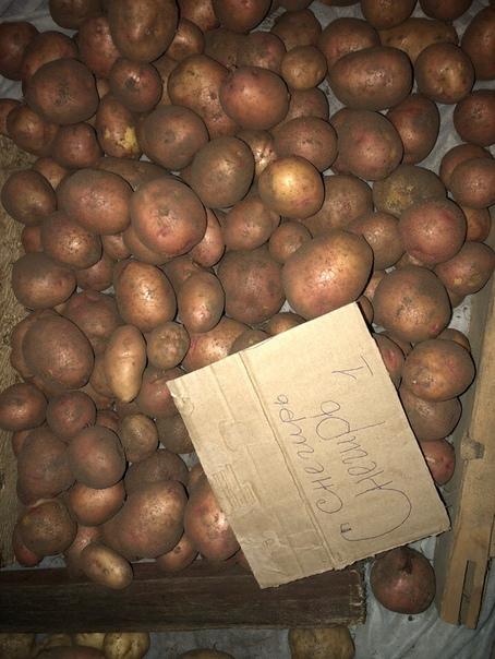 ᐉ сорт картофеля снегирь: описание, посадка и уход - orensad198.ru