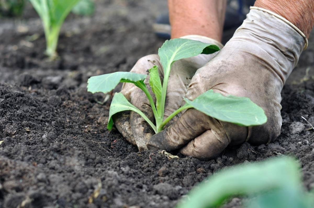 Соя. применение, выращивание, вред и польза