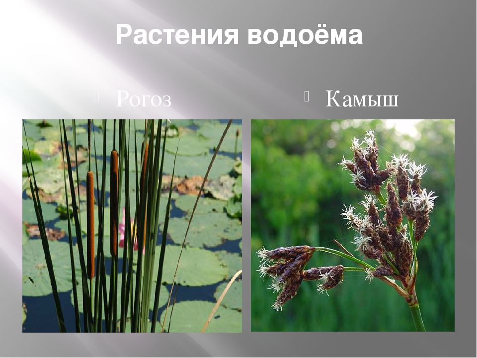 Камыш/scirpus описание и фото на supersadovnik.ru