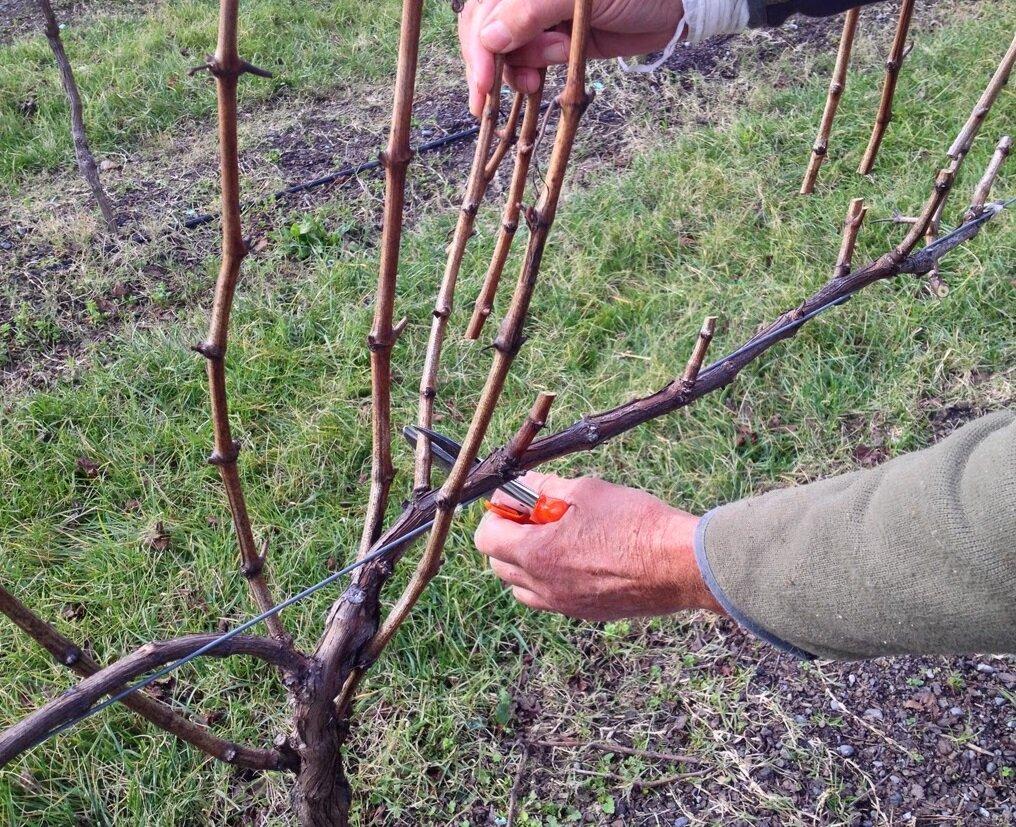 Почему не плодоносит виноград: причины и способы решения
