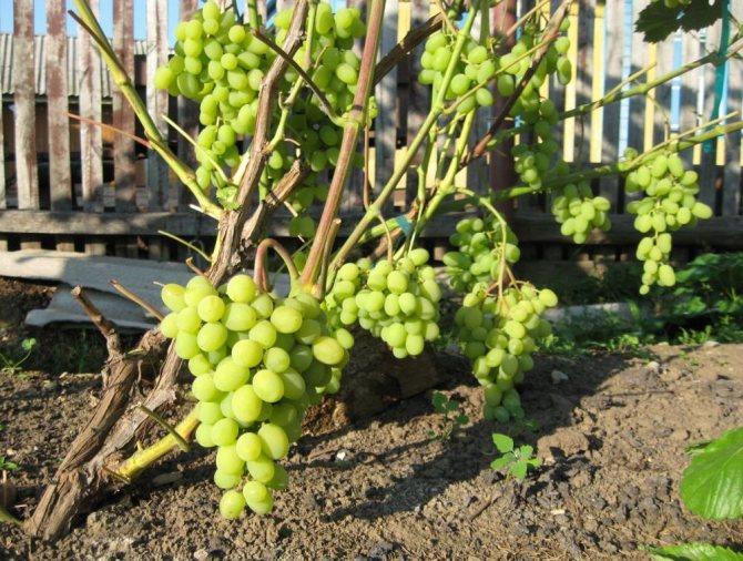 Сорт винограда «сенсация» (видео)