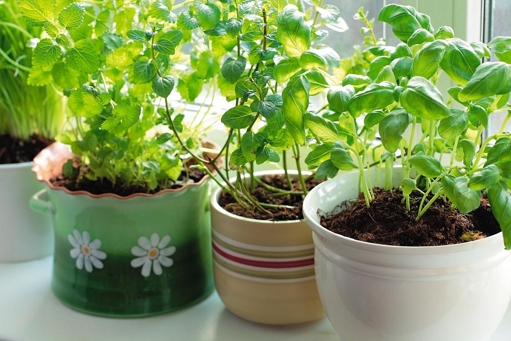 Базилик на подоконнике: выращивание и уход