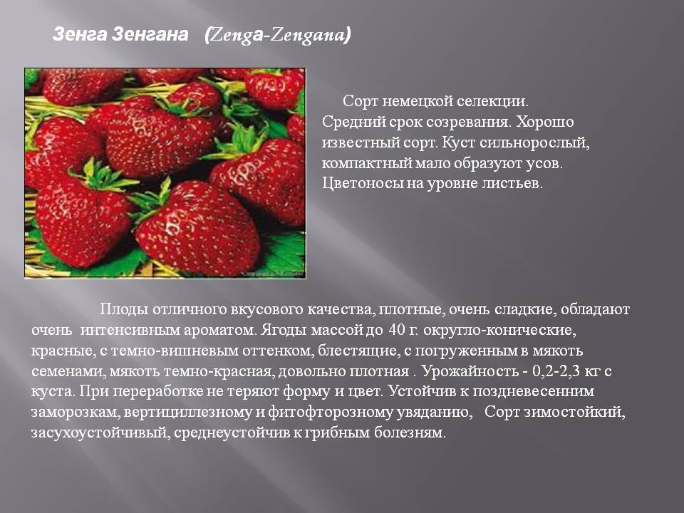 Клубника зенга зенгана - отзывы о сорте, описание, фото