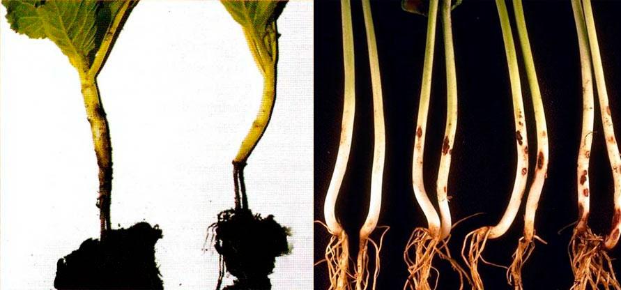 Лучшая профилактика черной ножки на рассаде капусты