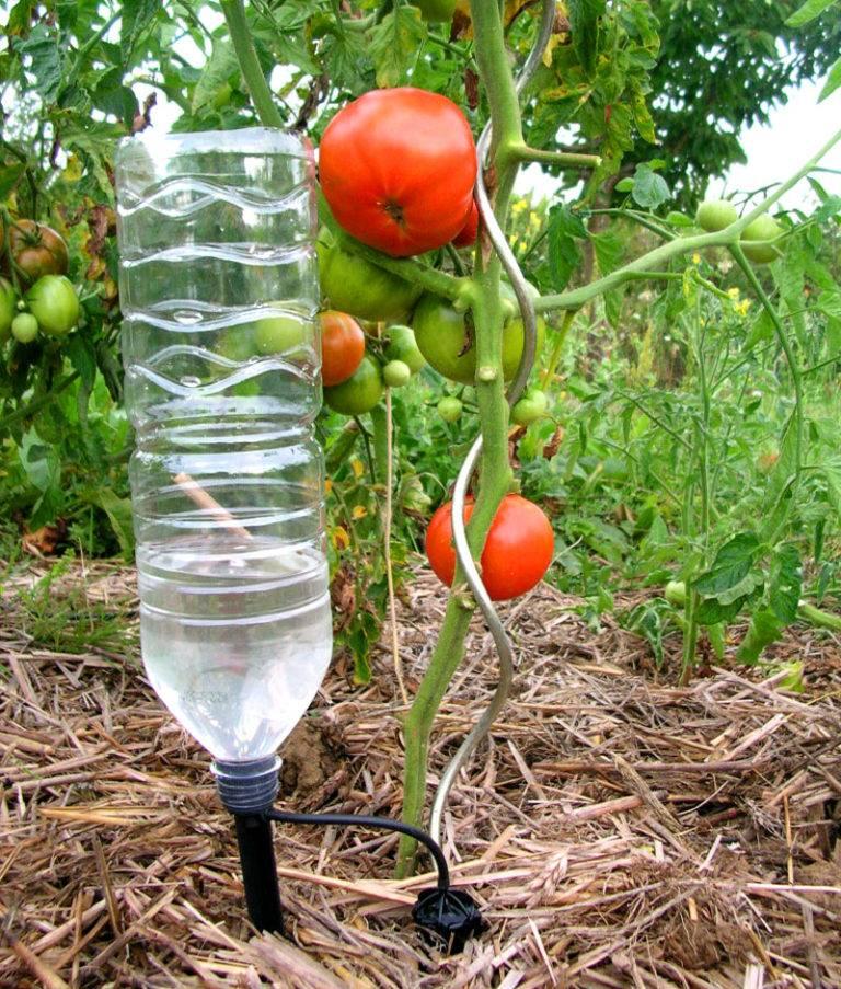 Пластиковые бутылки для полива помидор: как использовать, как поливать