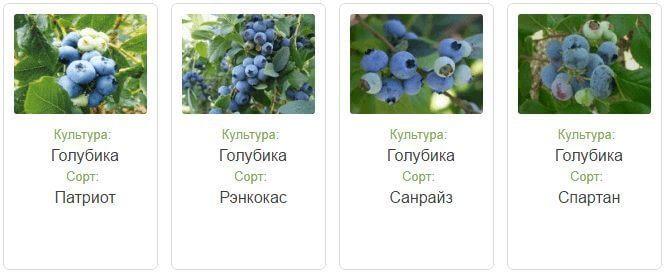 Голубика патриот: описание сорта и характеристики, посадка и уход, условия выращивание